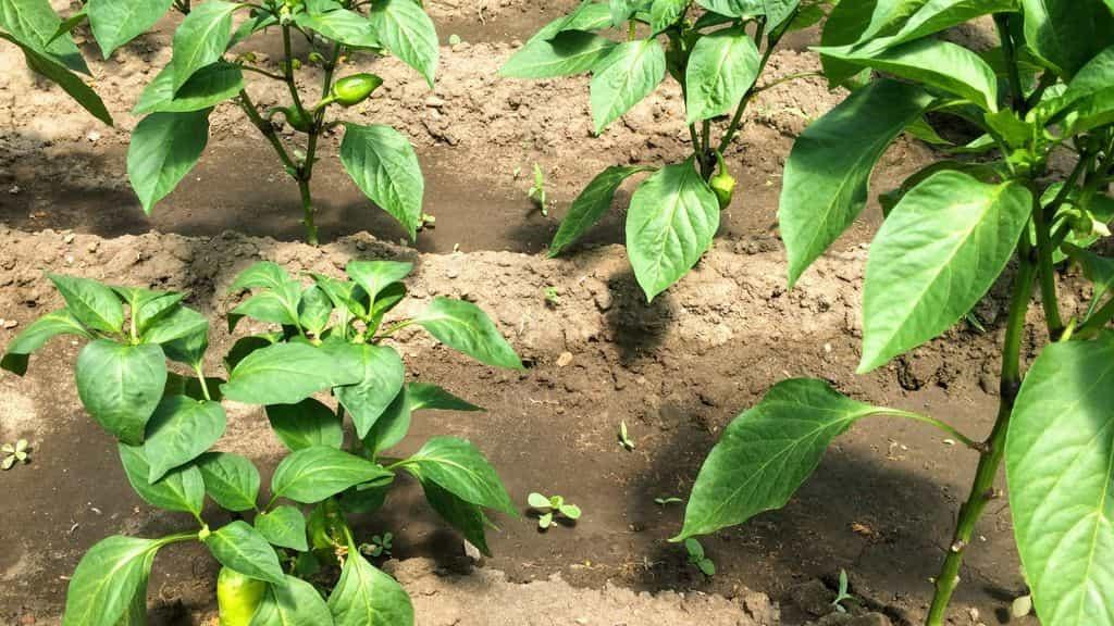 болгарский перец в огороде