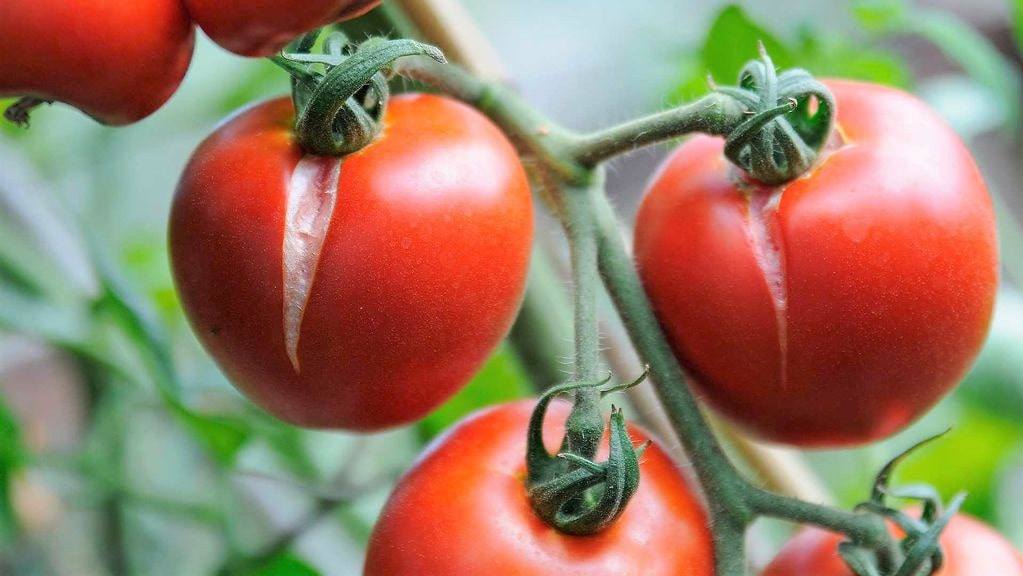 растрескавшейся помидор