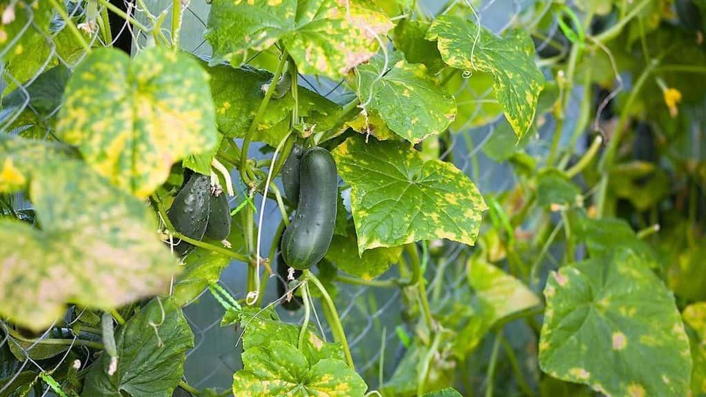 Огурцы в теплице почему желтеют листья как справиться с проблемой