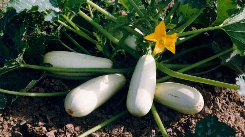 кабачки в огороде