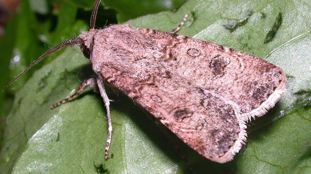 бабочка совка