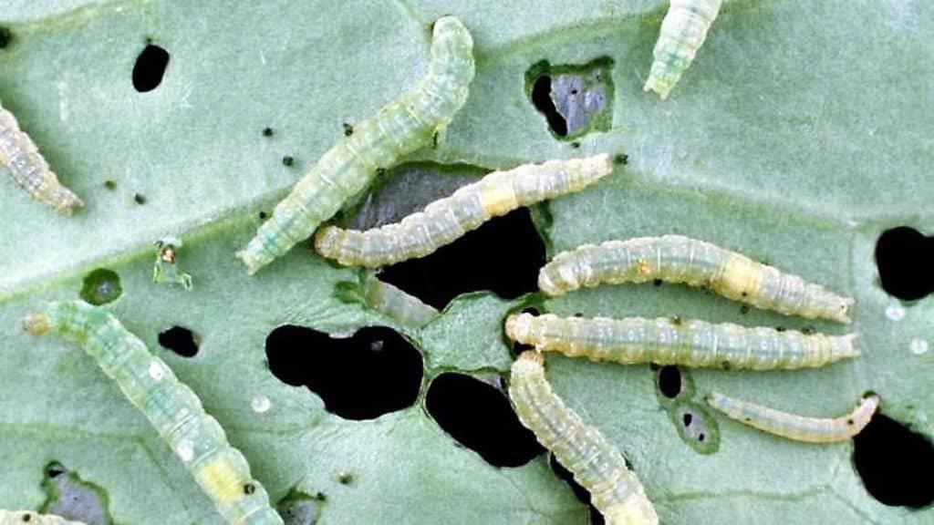 гусеницы в огороде