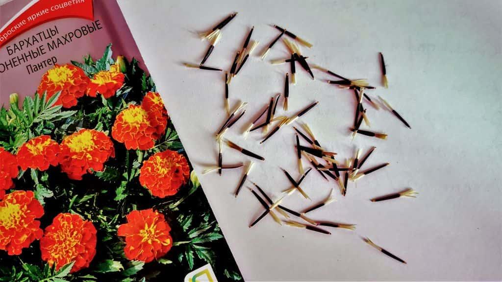 подготовка семян бархатцев