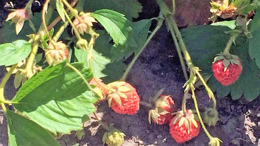 неурожайность клубники