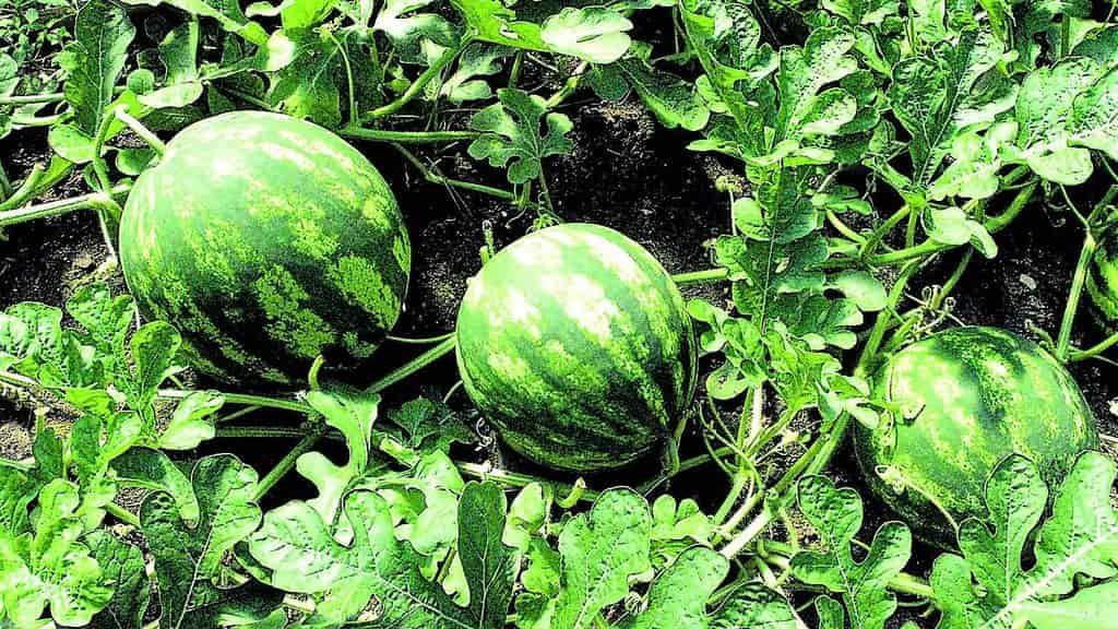 Как правильно посадить и вырастить арбуз
