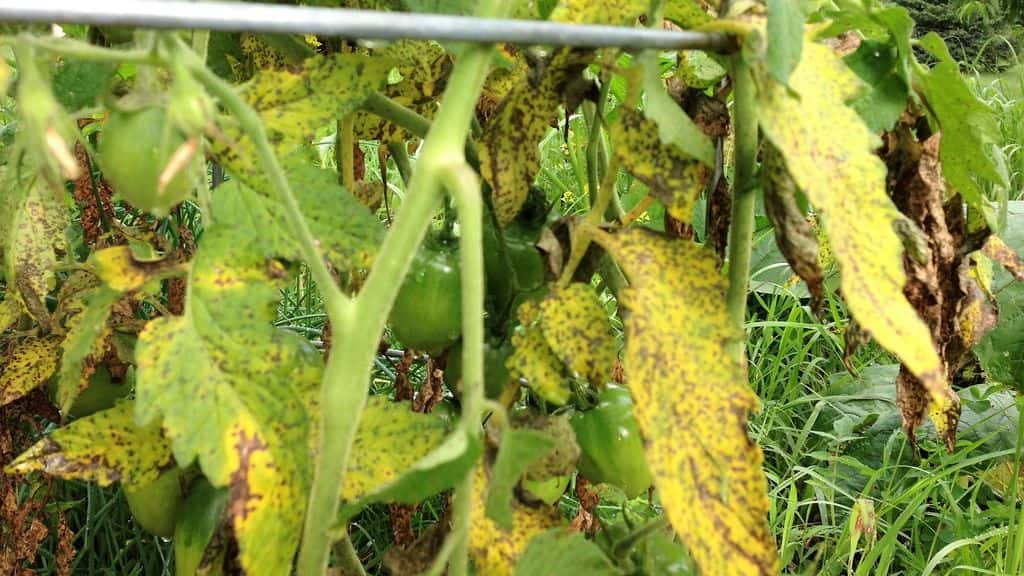 пожелтение листьев томатов в теплице
