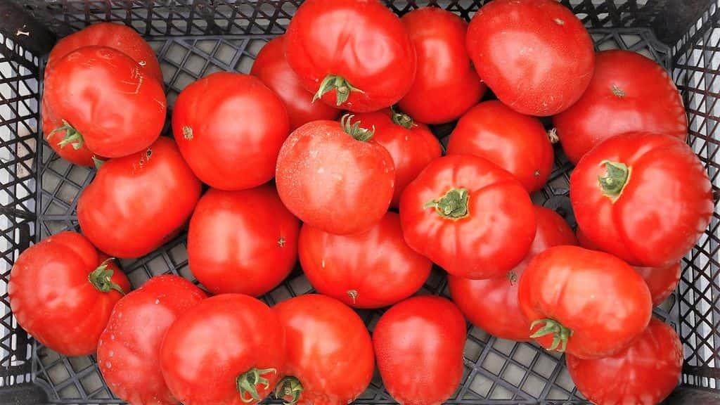 урожай томатов 2