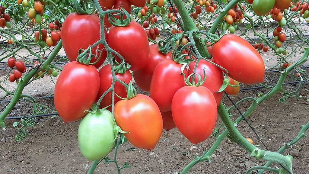 урожай томатов 3