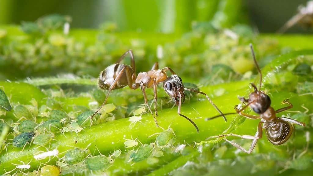 вред муравьев в теплице